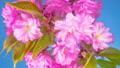 花 开花 花朵 40797037