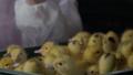 bird, chick, livestock 40829690