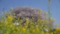 桜 菜の花 40842051