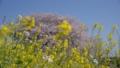 桜 菜の花 40842052