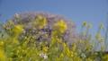 桜 菜の花 40842053