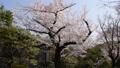 東京の桜 40842081