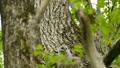 鳥 フクロウ エゾフクロウの動画 40853363