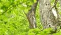 鳥 フクロウ エゾフクロウの動画 40853365