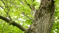 鳥 フクロウ エゾフクロウの動画 40853377