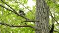 鳥 フクロウ エゾフクロウの動画 40853382