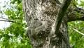 フクロウ 野鳥 雛の動画 40886190