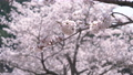 Cherry blossoms swaying in the wind 40911530