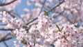 Cherry blossoms in full bloom swaying in the wind 40912363