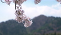 Cherry blossoms shaking in the wind 40912866