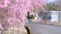 Broken cherry blossoms swaying in the wind and country roads 40921746