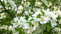 Beautiful white flowers blooming apple tree branch 40988927
