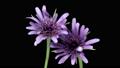 花 開花 植物の動画 40992476
