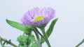 Flowering time lapse Haldion 40992486