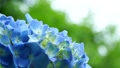 紫陽花 ホンアジサイ アジサイの動画 41040027