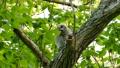 นกเขียวของนกฮูกล้อมรอบไปด้วยต้นไม้ที่เขียวขจีปีนต้นไม้ไต่ตามสายลมกระโดดข้ามสาขาต่อไป 41072825