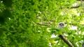 ล้อมรอบไปด้วยสีเขียวสดนกฮูกบนกิ่งก้านของต้นไม้สั่นระลอกลม 41072827