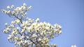 コブシ 辛夷 コブシの花の動画 41087418
