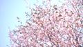 桜 蝦夷山桜 大山桜の動画 41096972