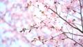 桜 蝦夷山桜 大山桜の動画 41096973
