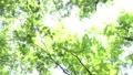 ต้นไม้,ป่า,แสงอาทิตย์ส่องผ่านใบไม้ 41113229