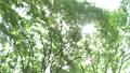 ต้นไม้,ป่า,แสงอาทิตย์ส่องผ่านใบไม้ 41113232