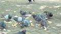 公園 鴿子 鴿 41113520