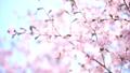 桜 蝦夷山桜 大山桜の動画 41114538