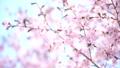 桜 蝦夷山桜 大山桜の動画 41114539