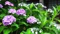 梅雨の風物詩・アジサイの花 41205401