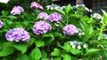 梅雨の風物詩・アジサイの花 41205402