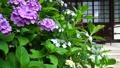 梅雨の風物詩・アジサイの花 41205404