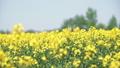 一面の菜の花(北海道 安平 パン撮影) 41246389
