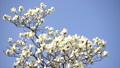 コブシの花(パン撮影) 41298102