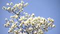 コブシの花(フィクス) 41298104