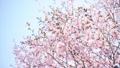 満開のエゾヤマザクラ(ハイキー フィクス撮影) 41298105