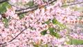 満開のエゾヤマザクラ(フィクス撮影) 41303610