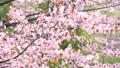満開のエゾヤマザクラ(ティルトダウン) 41303611