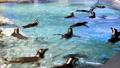 很多企鵝都在水上游泳 41349158