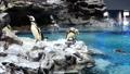 企鵝從岩石頂部跳入水中 41349159
