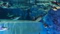 企鵝在水下游泳的樣子 41349160