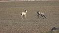 Two roe deer eating rapeseed sprouts in spring 41457305