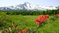 鳥海山と桑の木台のレンゲツツジ 41458124