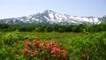 鳥海山と桑の木台のレンゲツツジ 41458125