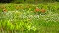桑の木台湿原のレンゲツツジとワタスゲ 41458128