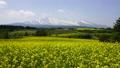 満開の菜の花畑と鳥海山 41458132