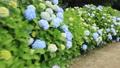 紫陽花(群馬県前橋市の荻窪公園) 41517407