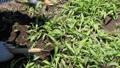 草むしり 41520090