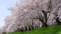 満開の桜並木と桜吹雪 五条川 41525650