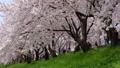 満開の桜並木と桜吹雪 五条川 右にスライド 41525652